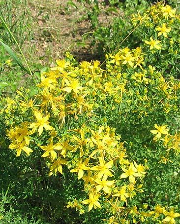 bouquet-millepertuis