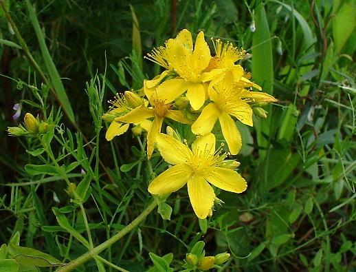 fleur-de-millepertuis