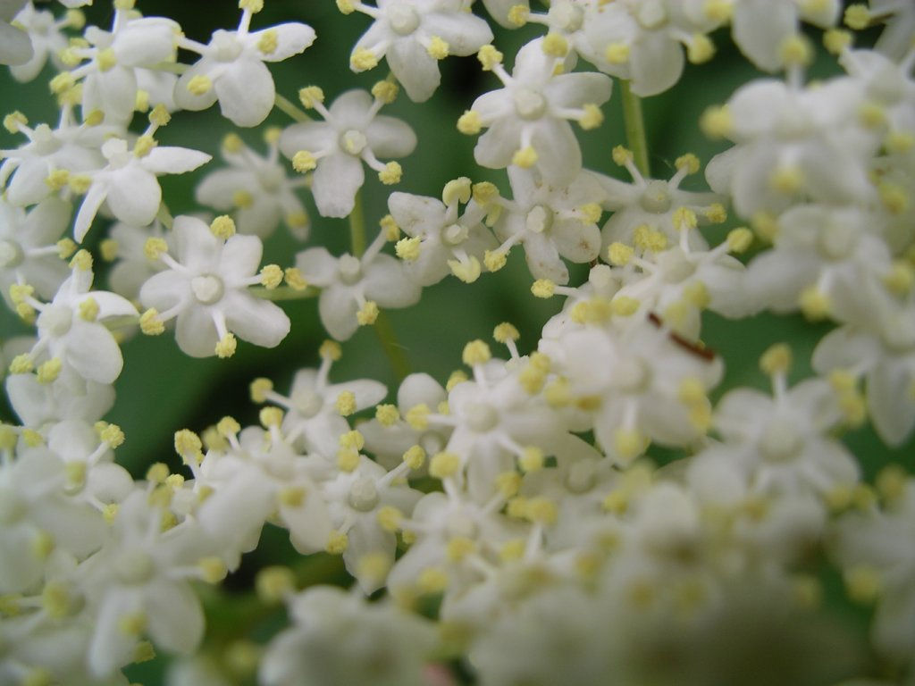 fleur-de-sureau-macro