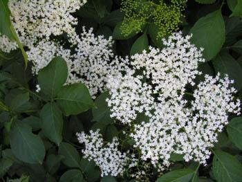 fleur-de-sureau