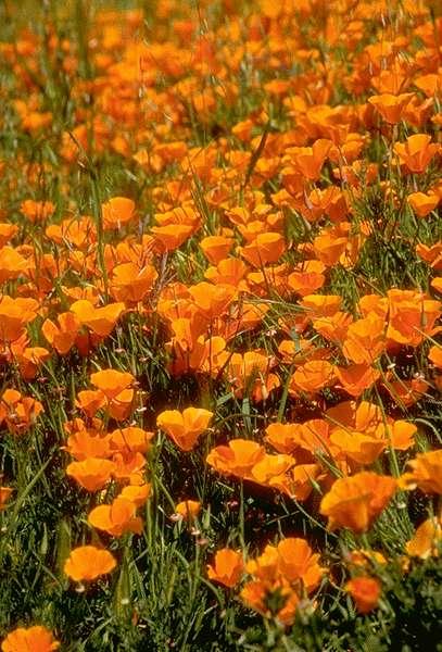fleurs-oranges