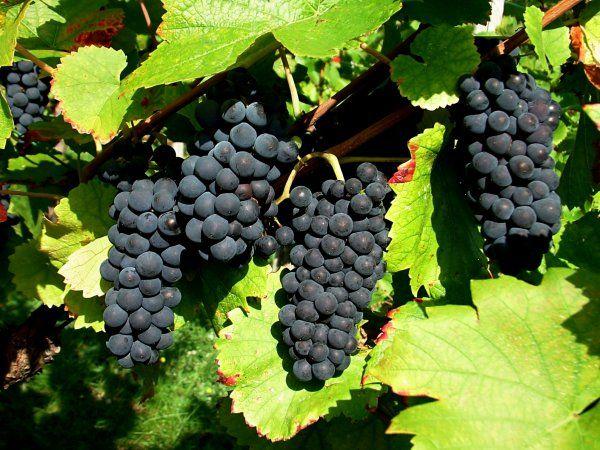 raisin-noir