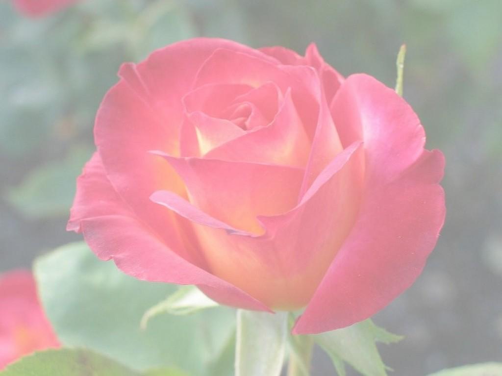 rose-filtre