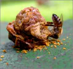 abeille-propolis